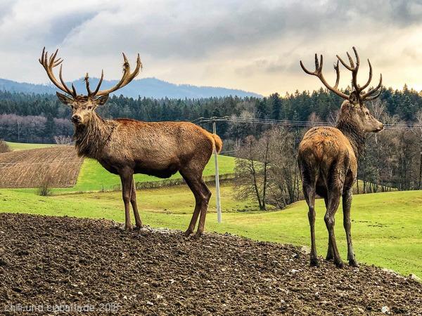 Hirsche in Buchet