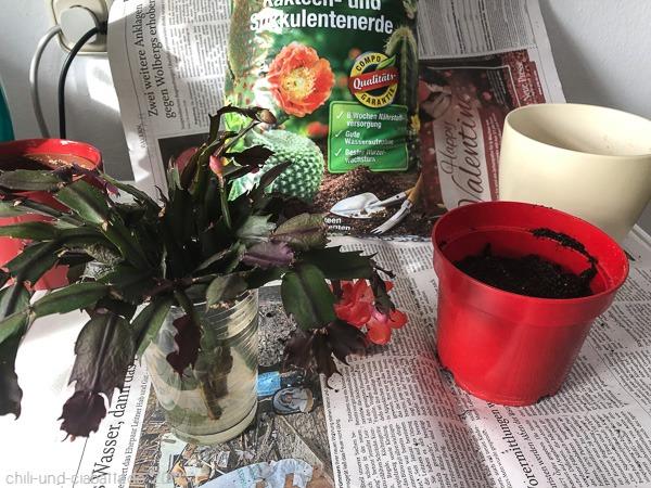 Weihnachtskaktus einpflanzen