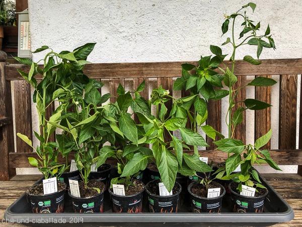 Chilipflanzen 2019