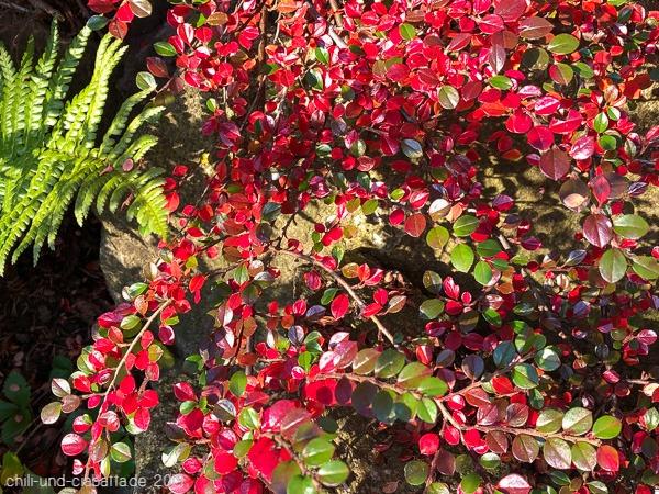 Cotoneaster in Herbstfarben