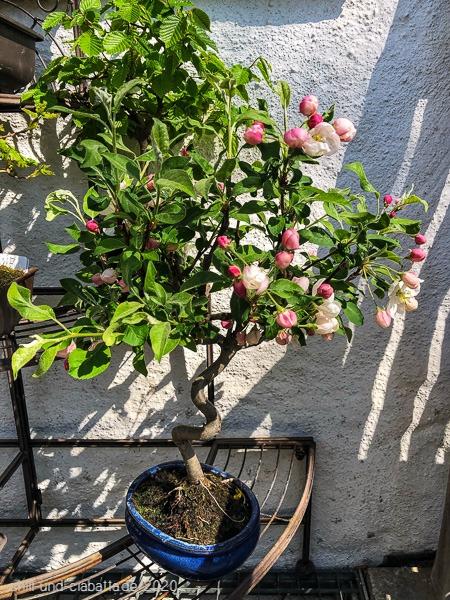 Bonsai-Apfelbaum