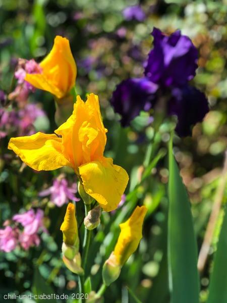 gelbe Iris