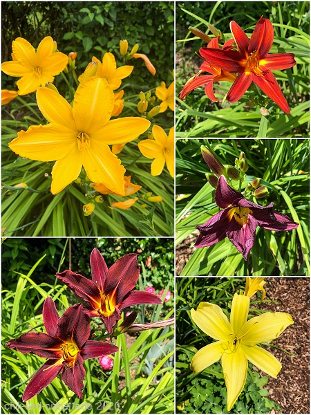 Hemerocallis-Collage