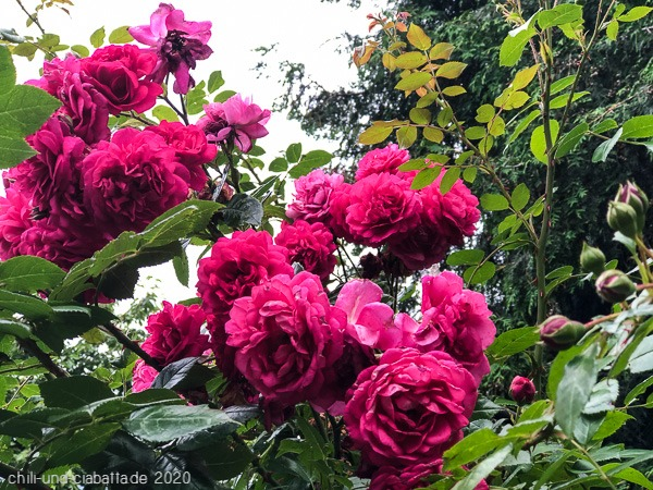 Laguna-Rose