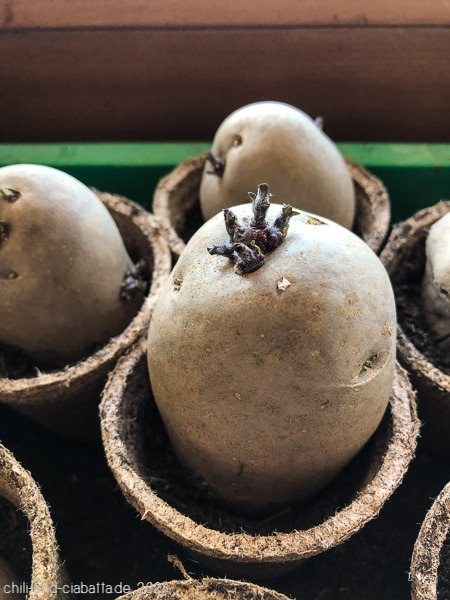 Kartoffelkeime