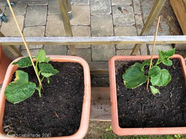 neue Gurkenpflanzen