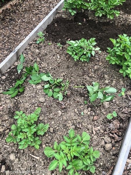 Holunderblätter im Kartoffelbeet