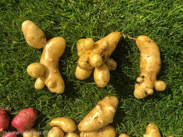 knollige Kartoffeln