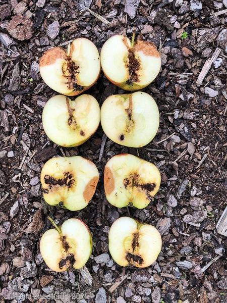 wurmstichige Äpfel
