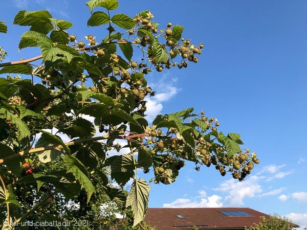 Herbsthimbeeren